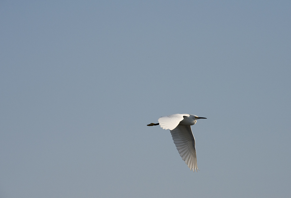 Snowy Egret, Savannah National Wildlife Refuge