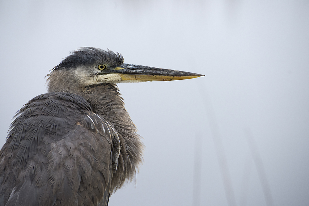 Old Great Blue Heron, Savannah National Wildlife Refuge