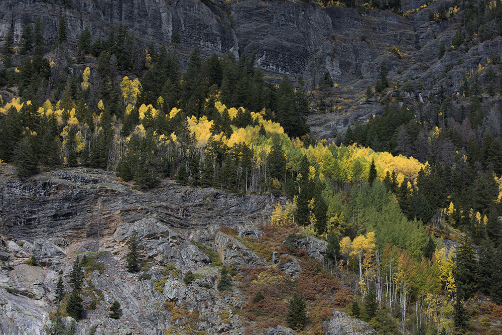 Uncompaghre River Aspens, Ouray, Colorado