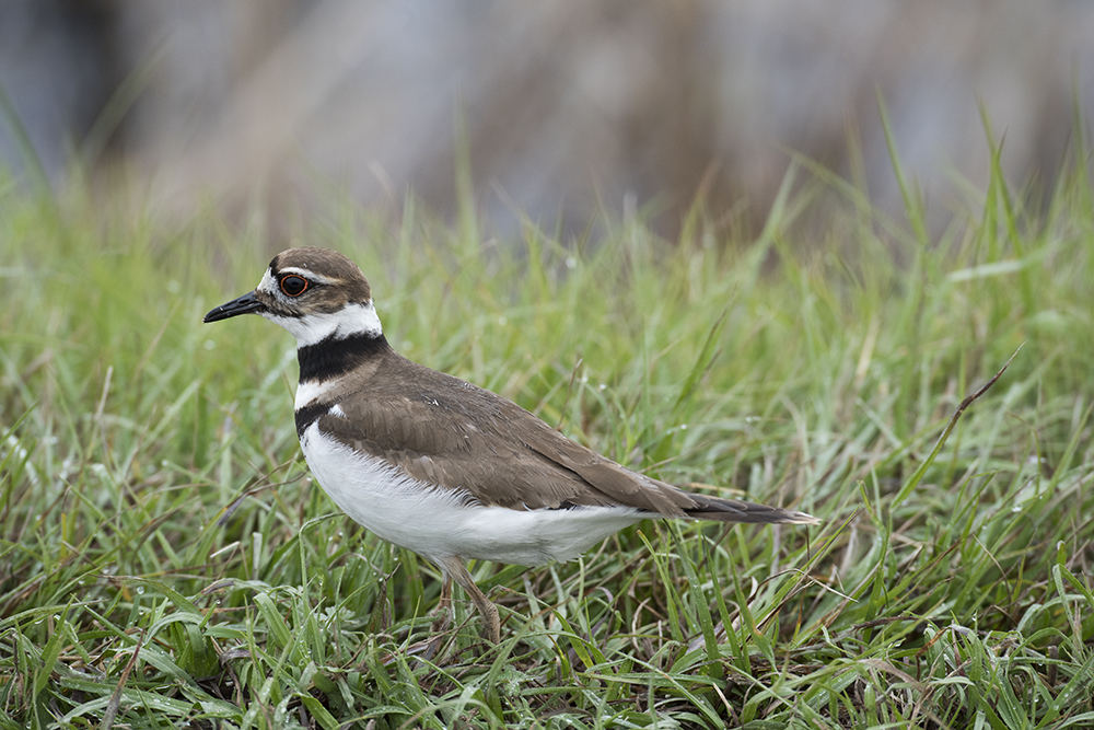 Killdeer, Savannah National Wildlife Refuge