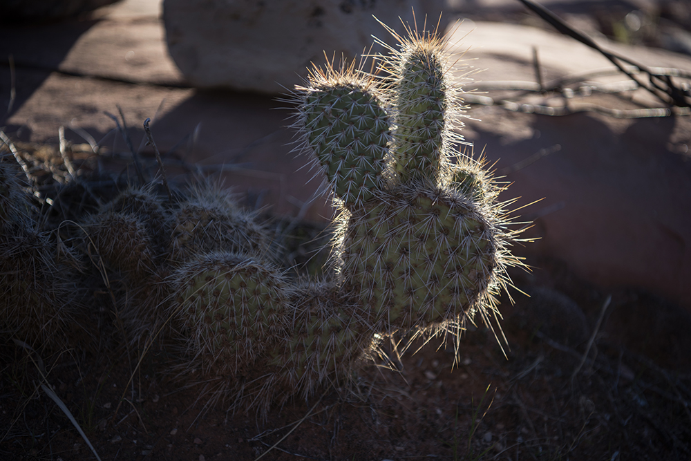 Cactus, Bar 10 Ranch, Arizona