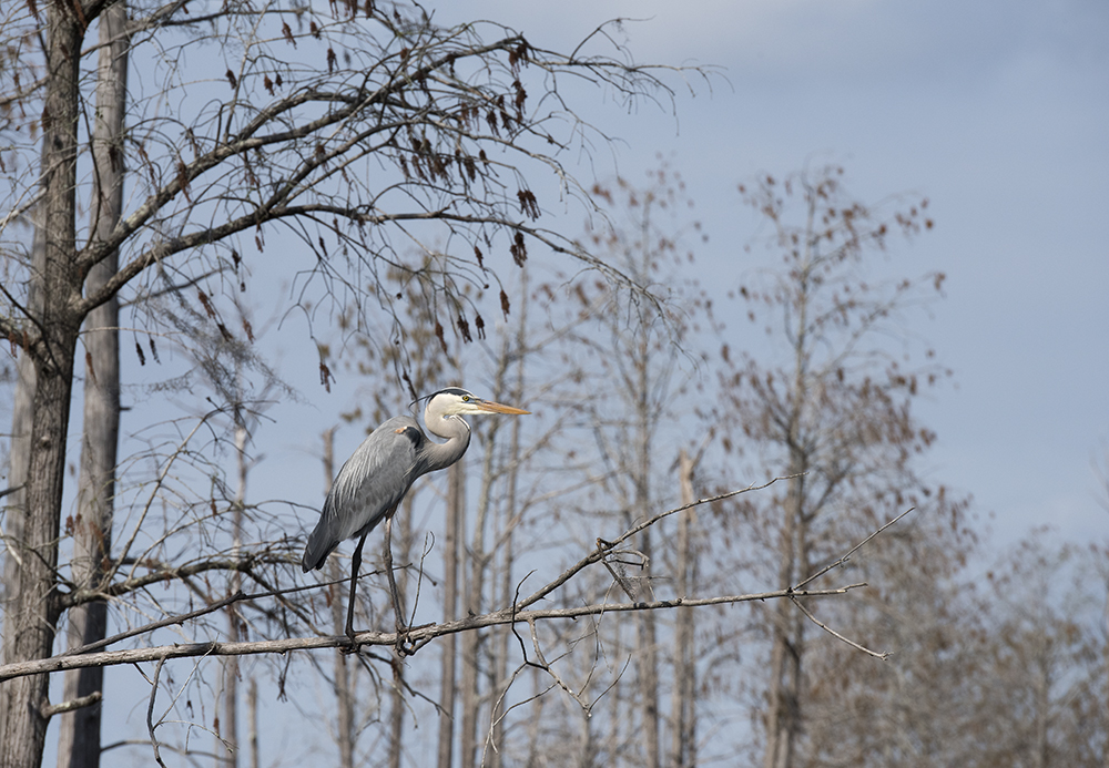 Great Blue Heron On A Branch, Okefenokee National Wildlife Refuge