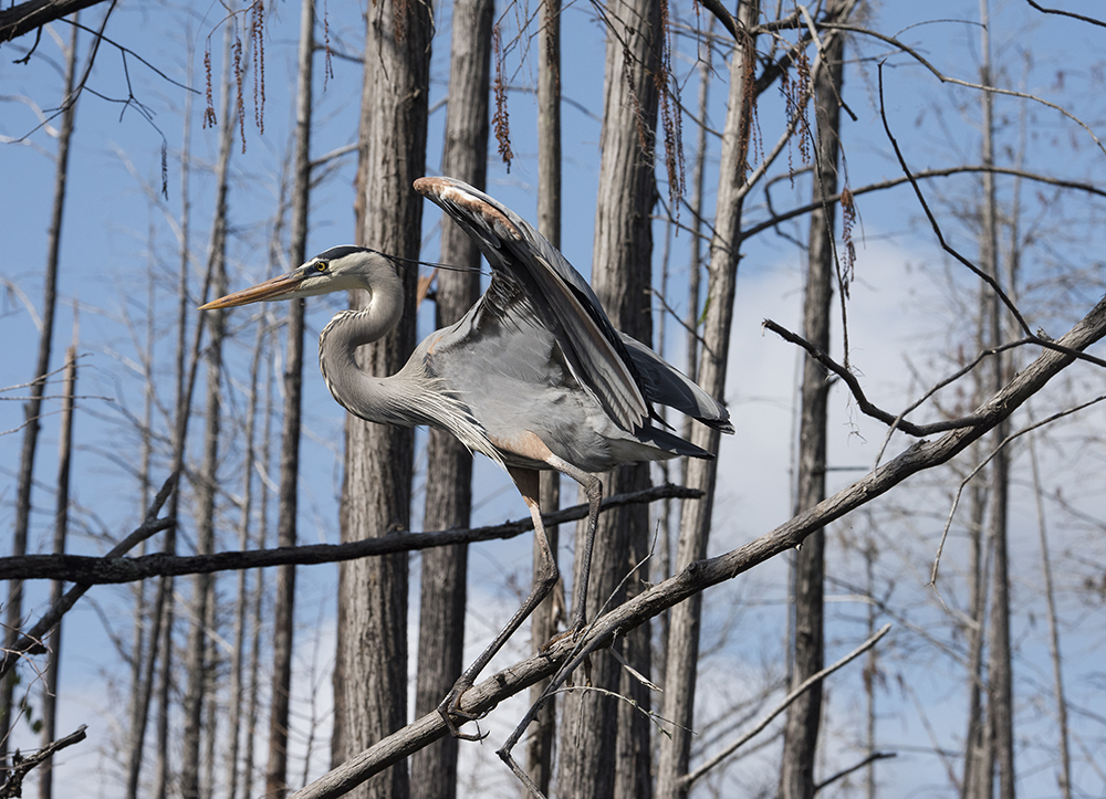 Great Blue Heron, Okefenokee National Wildlife Refuge