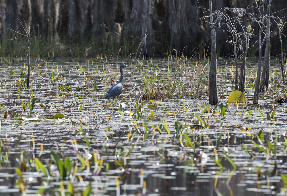 LittleBlue Heron, Okefenokee National Wildlife Refuge
