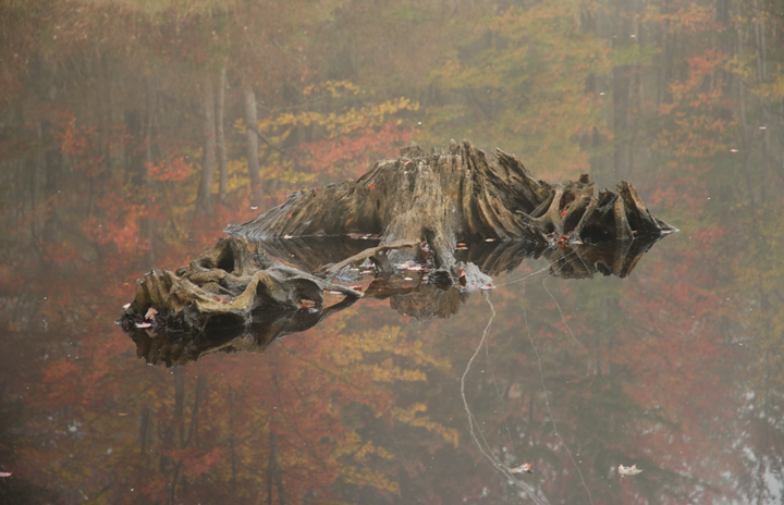 Stump and Reflection in Fall, Deer Pond, New Hampshire
