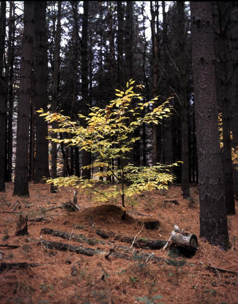 Fall Beech in Woods