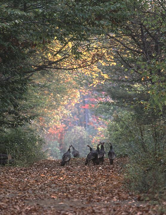 Glass Road Turkeys