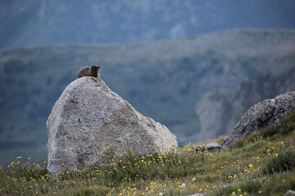 Yellow-bellied Marmot, Mount Evans, Colorado
