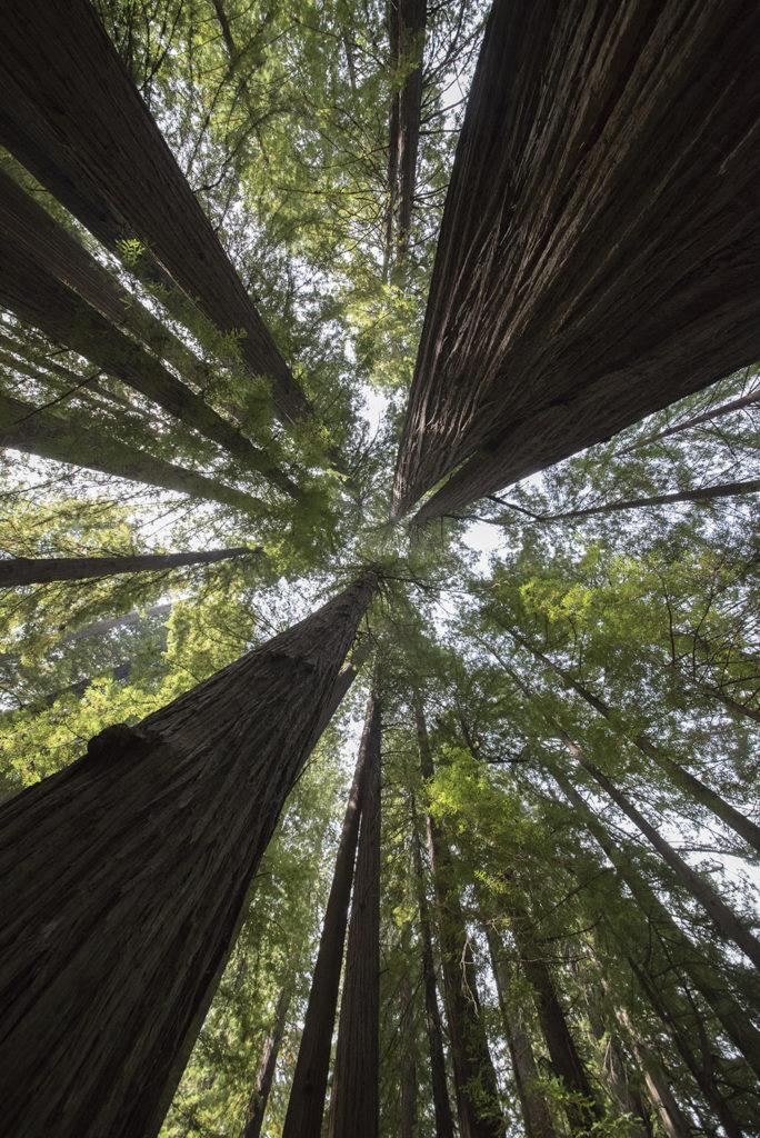 Redwood Upshot, Humboldt Redwoods State Park, Weott, California